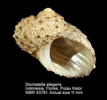Granata elegans