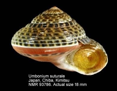 Umbonium suturale