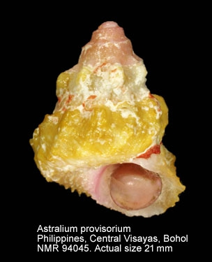 Astralium provisorium