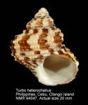 Turbo heterocheilus