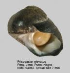 Prisogaster elevatus