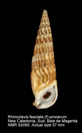Rhinoclavis fasciata