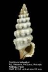 Cerithium balteatum