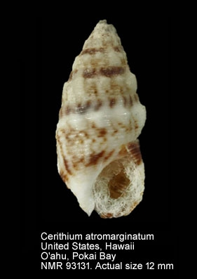 Cerithium atromarginatum