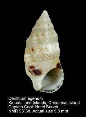 Cerithium egenum