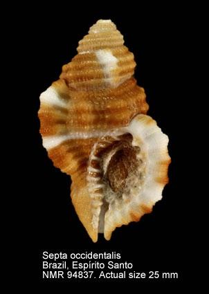 Septa occidentalis