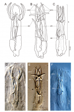 Freddius tricaudatus gen. et sp. nov. Illustrations (A–C) and photomicrographs (D–F) of the proboscis hook in three specimens, with the anterior movable nails and auxiliary apparatuses pointing in different directions