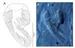 Freddius tricaudatus gen. et sp. nov., cirrus spine, ICHUM 4832 (holotype).