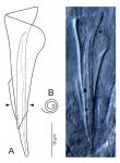 Proschizorhynchella caudociliata sp. nov., stylet, ICHUM 4863 (holotype).