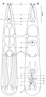 Proschizorhynchella shibazakii sp. nov. Schematic representation of the body to show the organization of various organs.