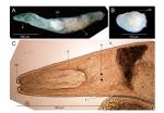 Proschizorhynchella shibazakii sp. nov.