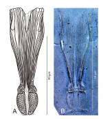Proschizorhynchella shuttlecock sp. nov. stylet, ICHUM 4846 (holotype).