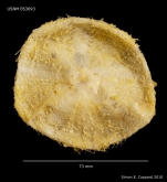 Araeosoma leptaleum, aboral view