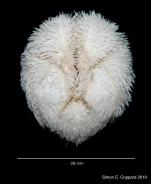 Agassizia scrobiculata, aboral view