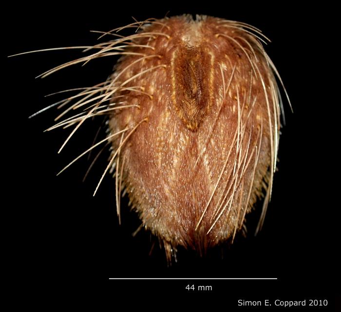 Lovenia cordiformis, aboral view