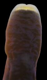 Micrura purpurea