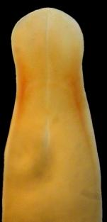 Carinina ochracea