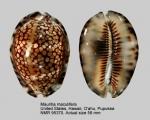 Mauritia maculifera