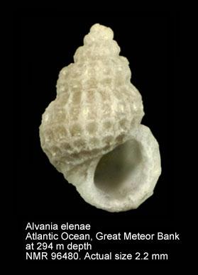 Alvania elenae