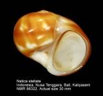 Natica stellata