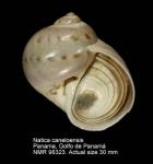 Natica caneloensis