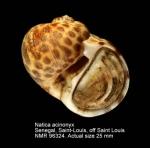 Natica acinonyx