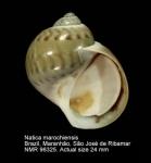 Natica marochiensis