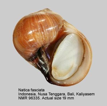 Natica fasciata