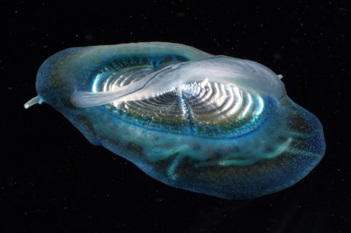Velella velella, mouth of Brunswick River, New South Wales, Australia