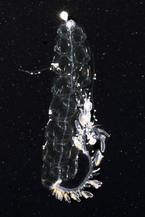Nanomia bijuga, mouth of Brunswick River, New South Wales, Australia
