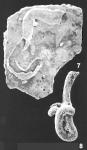 Tolypammina vagans (Brady) identified specimen