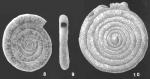 Ammodiscus intermedius Hoglund identified specimen