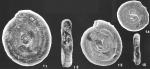 Ammodiscus gullmarensis Hoglund identified specimen