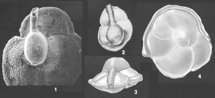 Ammolagena clavata (Jones & Parker) identified specimen
