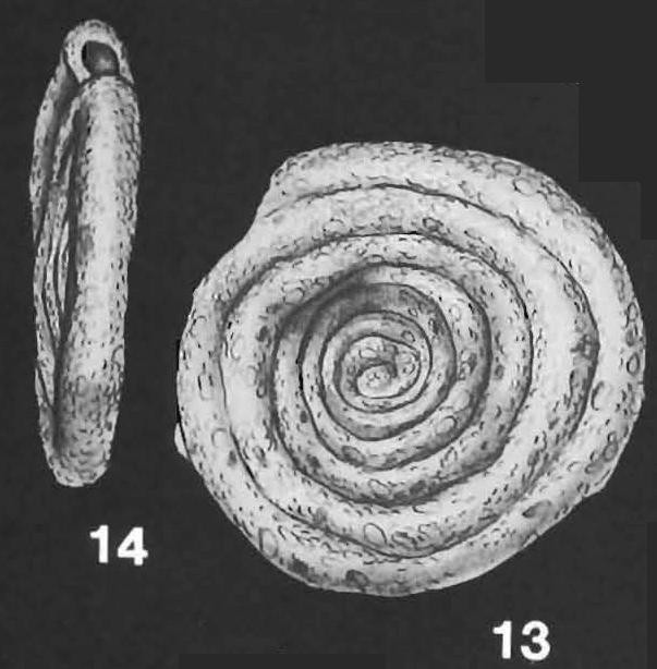 Ammodiscus anguillae Hoglund identified specimen