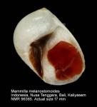 Mammilla melanostomoides