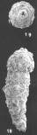 Nodosinum gaussicum (Rhumbler) indentified specimen