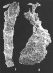 Reophax tumidus Saidova identified specimen