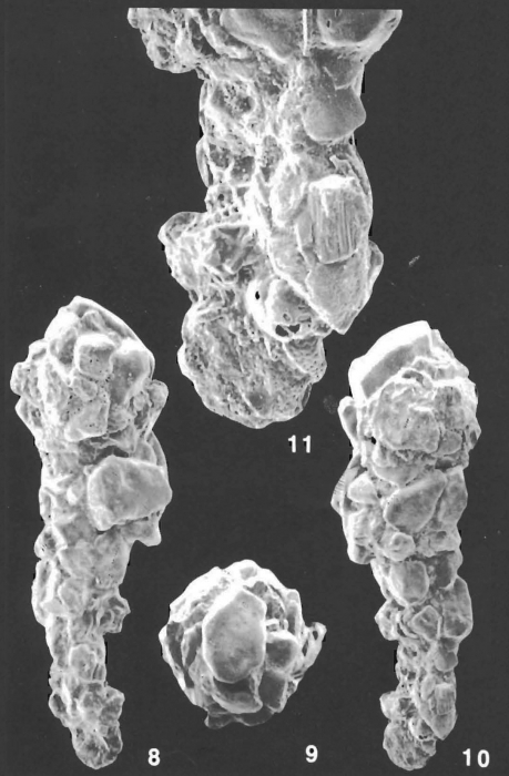 Ammobaculites crassaformis Zheng identified specimen