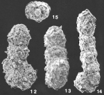 Ammobaculites villosus Saidova identified specimen