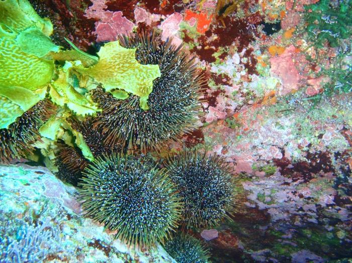 Kina urchins, South East Bay, Three Kings Islands