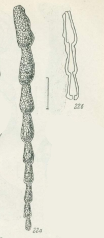 Reophax angustus Lukina, 1980