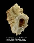 Coralliophila erosa