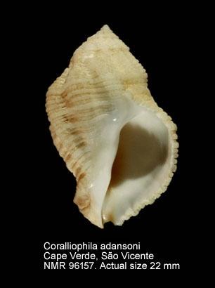 Coralliophila giton