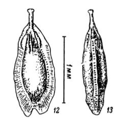 Fissurina stschedrinae Lukina, 1972