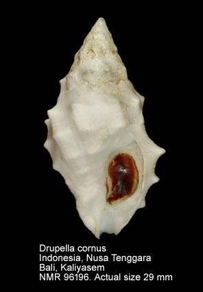 Drupella cornus
