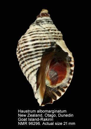 Haustrum albomarginatum