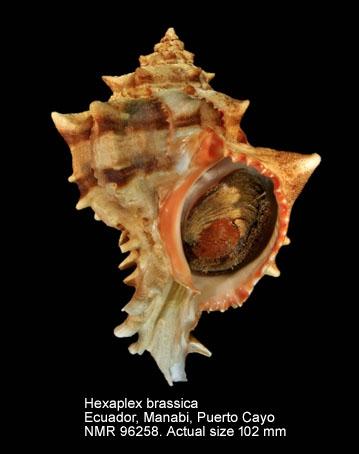 Hexaplex brassica