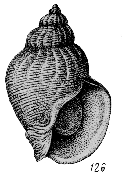 Buccinum middenforrfi (from Golikov & Kussakin, 1978)