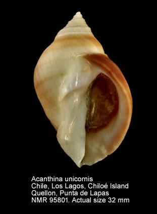 Acanthina unicornis